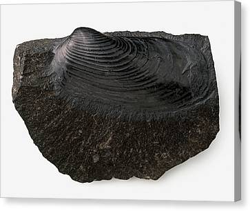 Clam Shell Fossilised In Black Limestone Canvas Print by Dorling Kindersley/uig