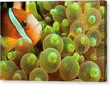 Clark S Anemonefish  Amphiprion Clarkii Canvas Print by Dave Fleetham