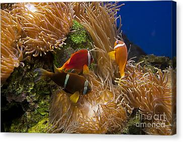 Clark's Anemonefish And A Tomato Clownfish   #5196 Canvas Print by J L Woody Wooden