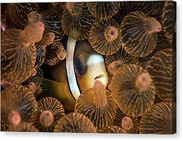 Clark's Anemonefish Canvas Print by Ethan Daniels