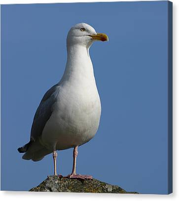 Canvas Print featuring the photograph Classical Seagull by Karo Evans