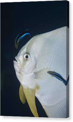 Cleaner Wrasse On Batfish Canvas Print by Science Photo Library