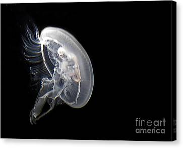 Clear Jelly Fish In Dark Water Art Prints Canvas Print