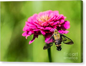 Clearwing Moth Canvas Print by Debbie Green