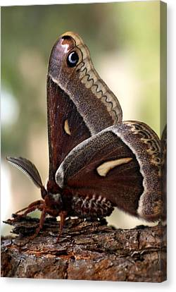 Clem The Moth Canvas Print