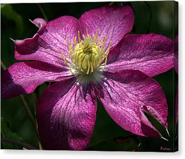 Clematis Aglow Canvas Print by Michael Friedman
