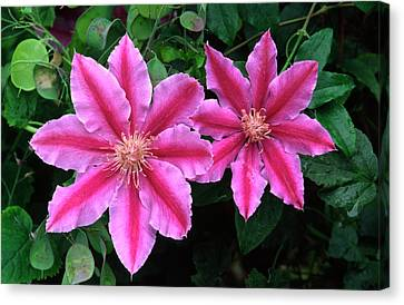 Clematis 'dr Ruppel' Canvas Print