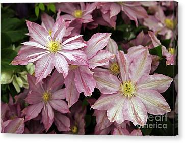 Clematis First Lady Canvas Print by Ros Drinkwater