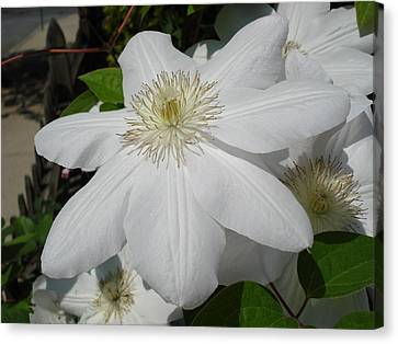 Clematis - Madame Le Coultre Canvas Print