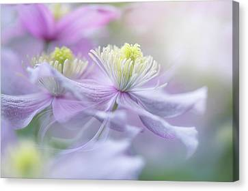 Clematis 'mayleen' Canvas Print