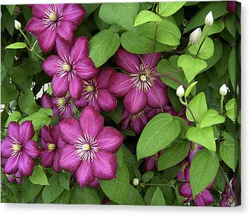 Clematis Canvas Print by Penny Lisowski