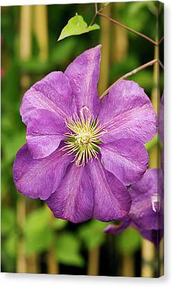 Clematis 'perrin's Pride' Flower Canvas Print by Adrian Thomas