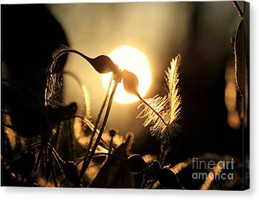 Clematis - Sunset Canvas Print