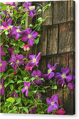 Clemitis On Trellis Canvas Print by Gail Maloney