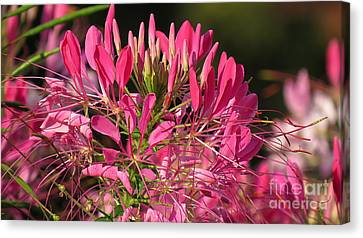 Cleome 26 Canvas Print by France Laliberte