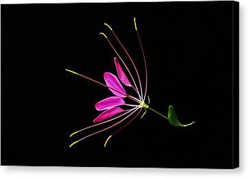 Cleome Blossom 2 Canvas Print