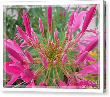Cleome Spider Flower Canvas Print