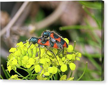 Clerid Beetles Mating On A Flower Canvas Print
