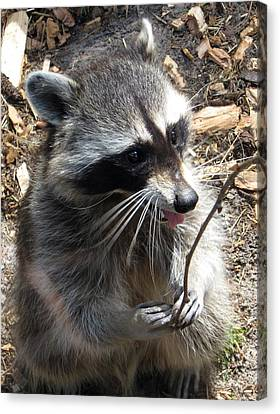 Clever Racoon Canvas Print by Konni Jensen