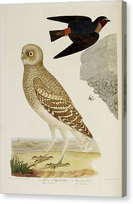 Cliff Swallow And Burrowing Owl Canvas Print by British Library