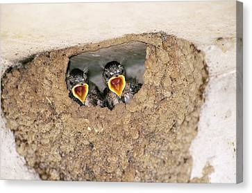 Cliff Swallow Chicks Canvas Print by Paul J. Fusco