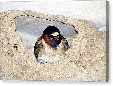 Cliff Swallow In Its Nest Canvas Print by Paul J. Fusco