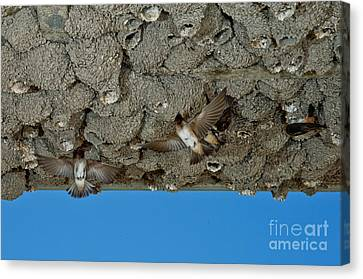 Hirundo Canvas Print - Cliff Swallows At Nests by Anthony Mercieca