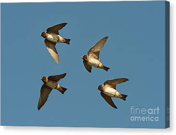 Cliff Swallows Flying Canvas Print by Anthony Mercieca