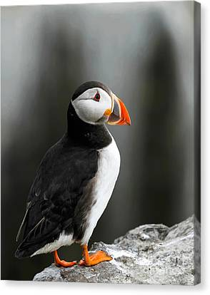 Cliff Top Puffin Canvas Print
