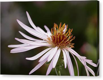 Canvas Print featuring the photograph Climbing Aster by Paul Rebmann