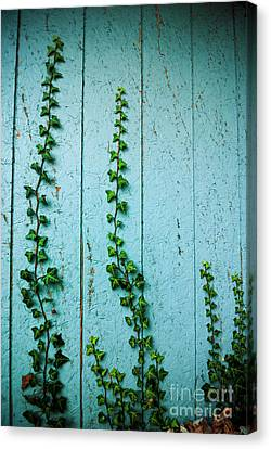 Climbing Ivy Canvas Print by Amy Cicconi