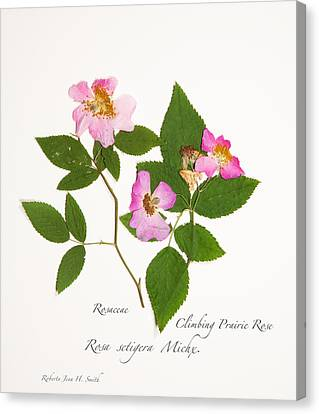 Climbing Prairie Rose  Canvas Print