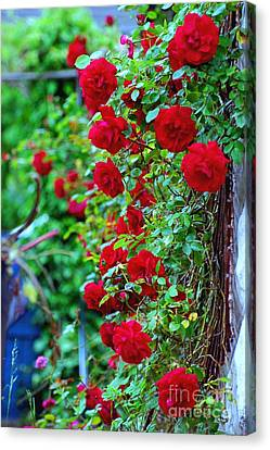 Climbing Red Roses Canvas Print by C Lythgo