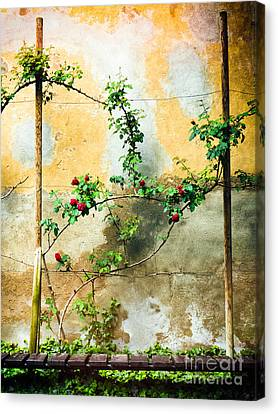 Canvas Print featuring the photograph Climbing Rose Plant by Silvia Ganora