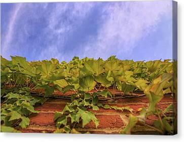 Climbing The Walls - Ivy - Vines - Brick Wall Canvas Print by Jason Politte