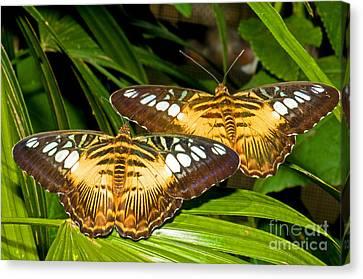 Clipper Butterflies Canvas Print by Millard H. Sharp