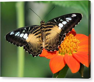 Clipper Butterfly On Flower Canvas Print