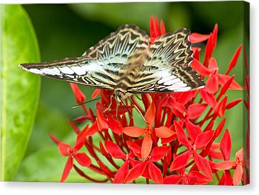 Clipper Butterfly Canvas Print by Scott Carruthers
