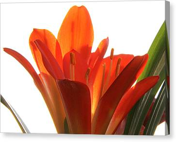 Canvas Print featuring the photograph Clivia by Jivko Nakev