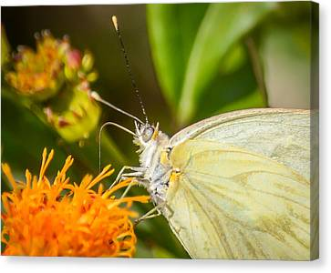 Canvas Print featuring the photograph Butterfly Attracted To Mexican Flame by Debra Martz