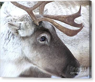 Close-up Caribou Reindeer Canvas Print