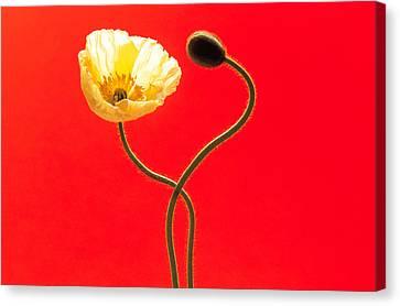 Close Up Cream Poppy And Seed Pod Canvas Print