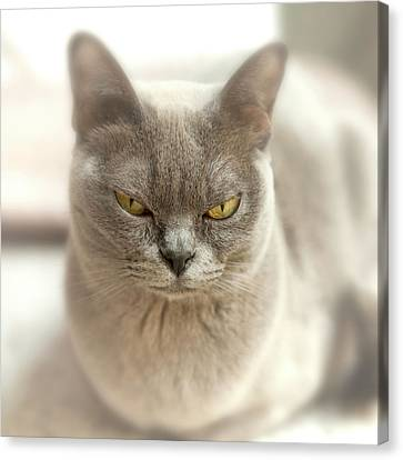 Close-up Of A Blue American Burmese Cat Canvas Print