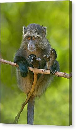 Close-up Of A Blue Monkey Sitting Canvas Print by Panoramic Images