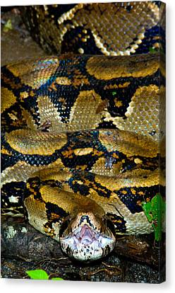 Close-up Of A Boa Constrictor, Arenal Canvas Print by Panoramic Images