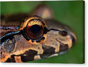 Close-up Of A Bullfrog, Tortuguero Canvas Print by Panoramic Images