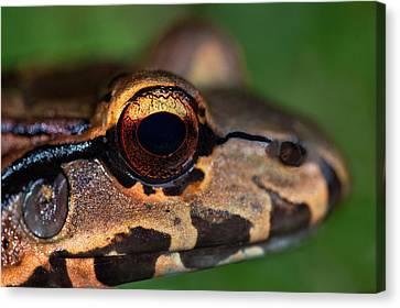 Close-up Of A Bullfrog, Tortuguero Canvas Print
