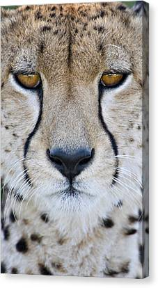 Close-up Of A Cheetah Acinonyx Jubatus Canvas Print by Panoramic Images