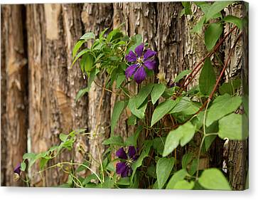 Close Up Of A Clematis Flower, Santa Canvas Print