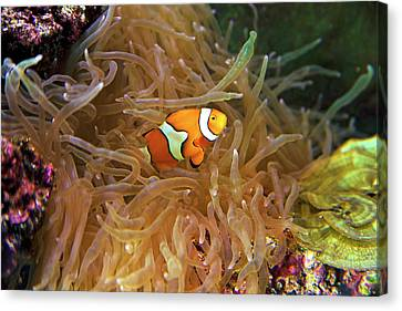 Close Up Of A Clown Fish In An Anemone Canvas Print by Miva Stock